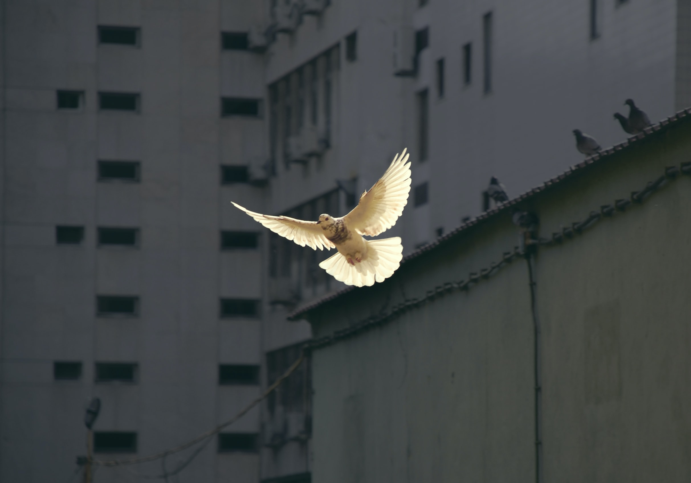Dove flying over buildings  - Photo by Sunyu on Unsplash
